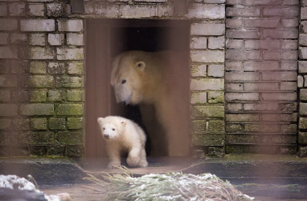 Jääkaru Friida pojaga