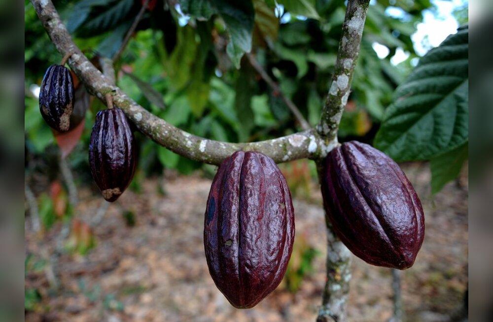 Kakao on iidne arstim, mida väärtustab ka moodne teadus