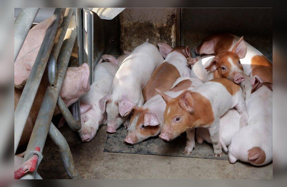 Круузе: распространение свиной чумы началось не со Дня открытых дверей на хуторах