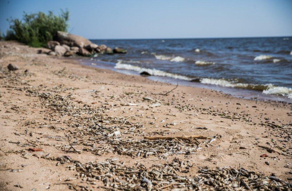 Kallaste rand on kalaraipeid täis