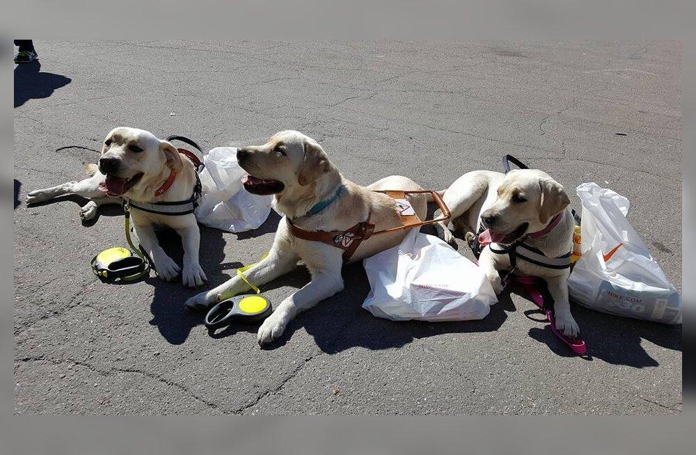 Unustamatud sekeldused juhtkoerte elust: koeratarkus on õpetanud elu mänguliselt võtma
