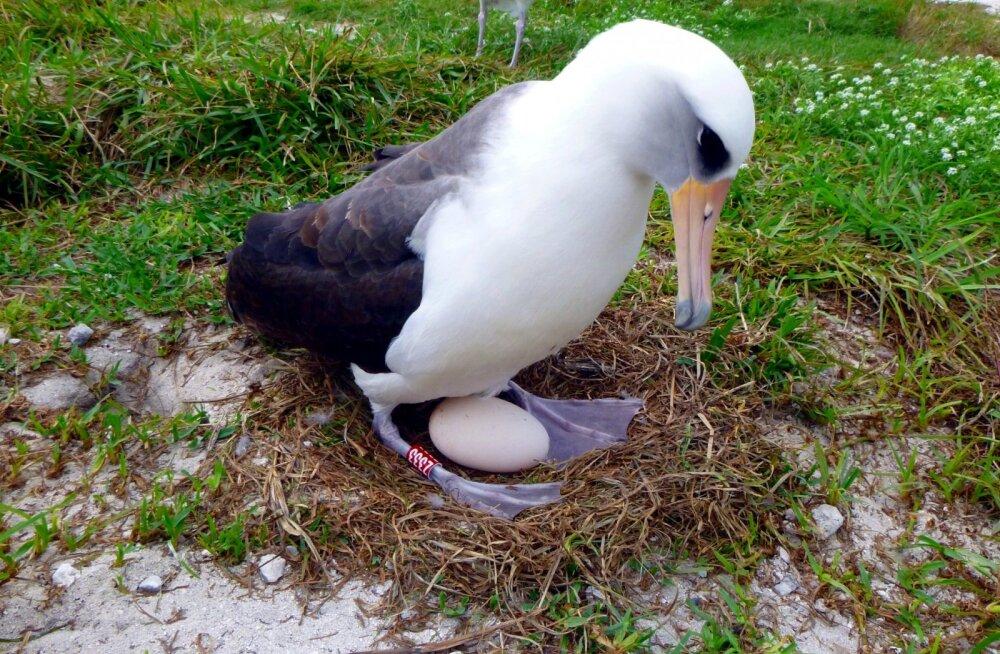 Maailma vanim lind munes 67-aastaselt uue muna