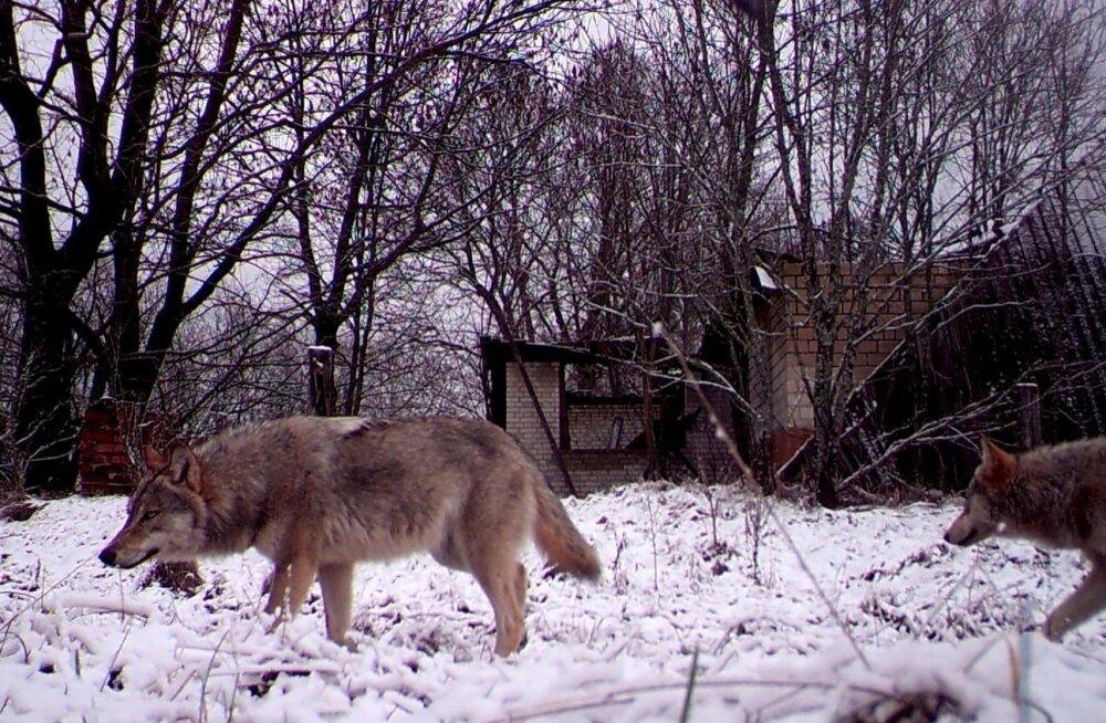 В Харьюмаа пристрелили волка и волчицу, пытавшихся загрызть сторожевого пса