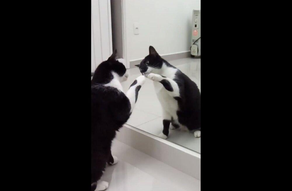 Naerutav VIDEO | See kass on oma peegelpildist täiesti jahmunud!