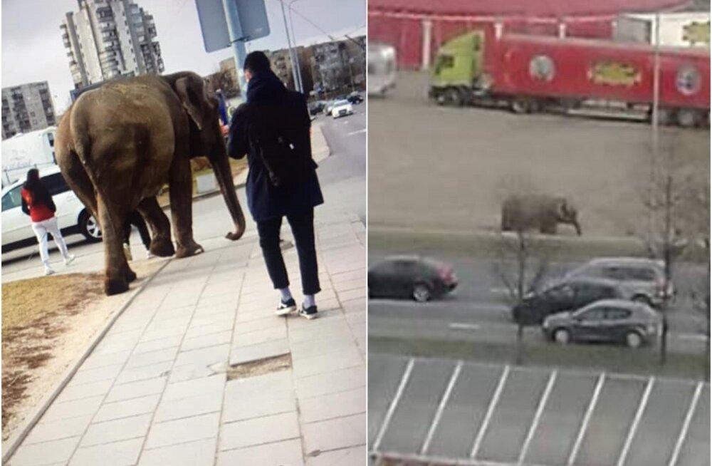 """ФОТО. """"По улицам слона водили"""": жителей Вильнюса удивил гуляющий по городу слон"""