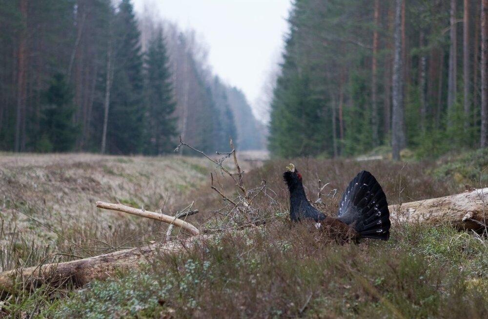 Auditis märgiti kolme kavartalit, mis paiknevad metsisemängu alal ja kuhu RMK oli planeerinud kuivendusvõrgu rekonstrueerimise või läbi viinud lageraied.