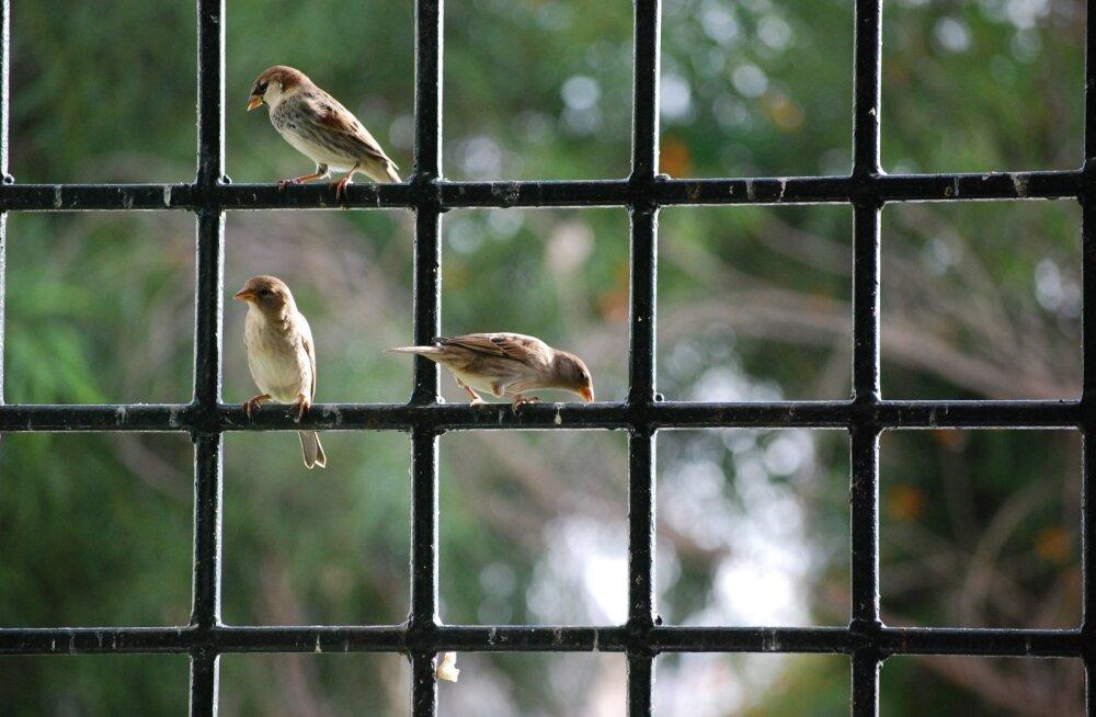 NIPID | Mida teha, et lind aknasse ei lendaks?