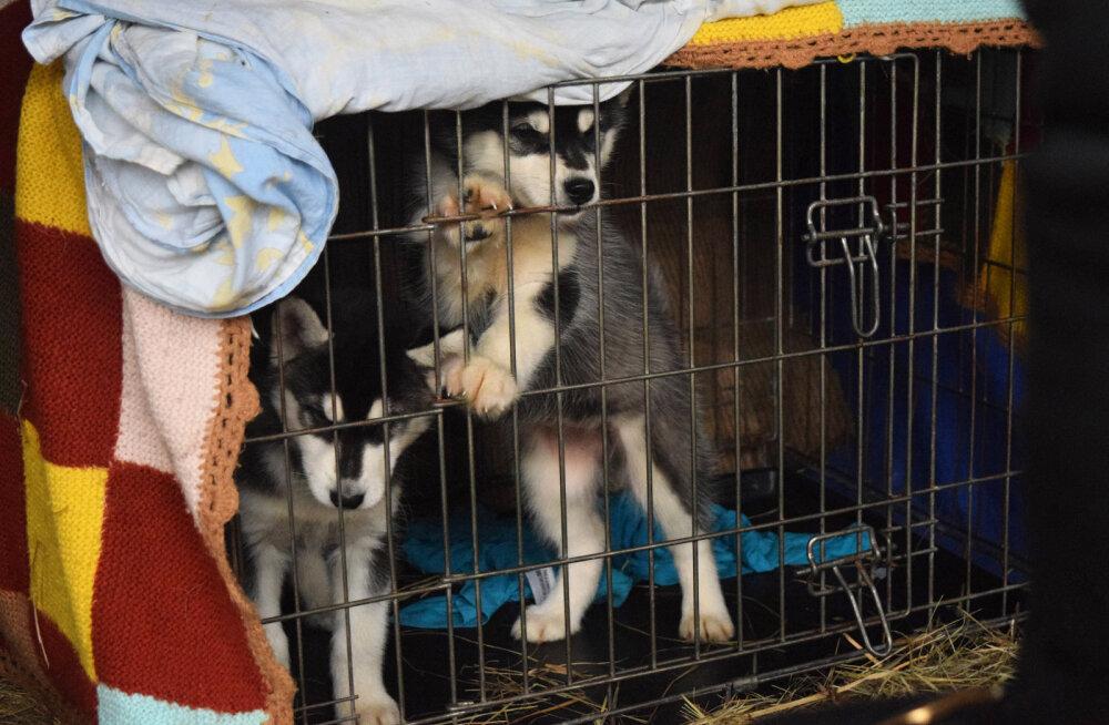 Koerapuur - kas kole vangikong või hubane kodu?