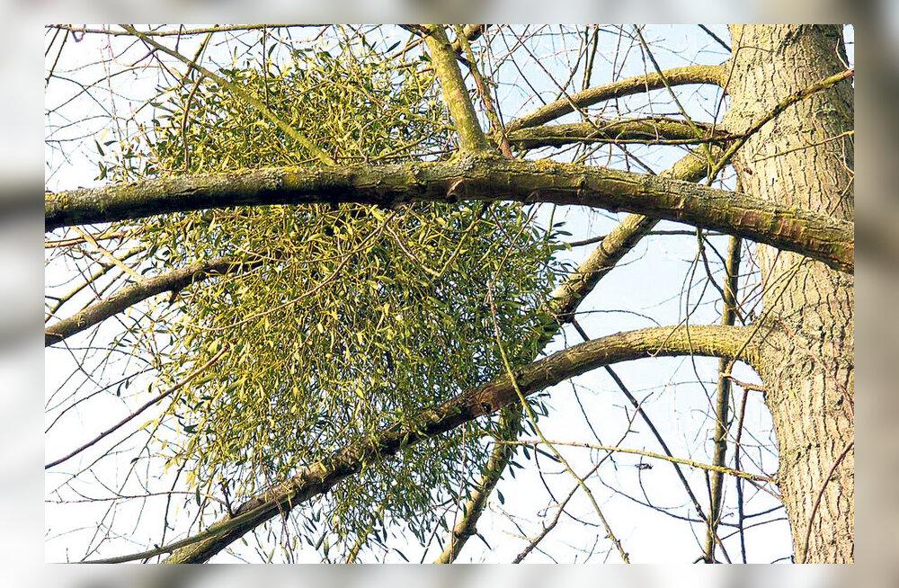 Mis taim on puuvõõrik?