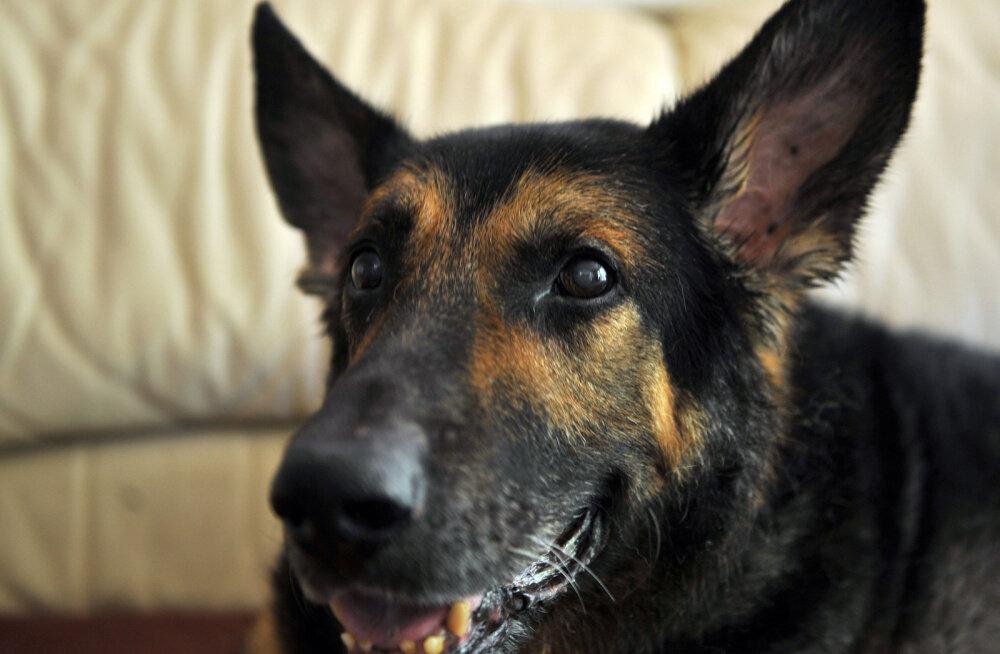 Kohutav: 17-aastane tüdruk sai fotosessioonil koeralt pureda ning vajas 40 õmblust