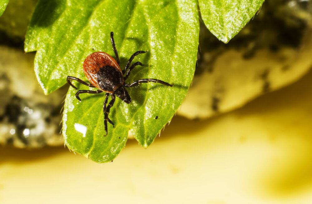 Ettevaatust, puugid on liikvel! Milliseid haigusi nad kannavad ja kuidas nakatumist vältida?