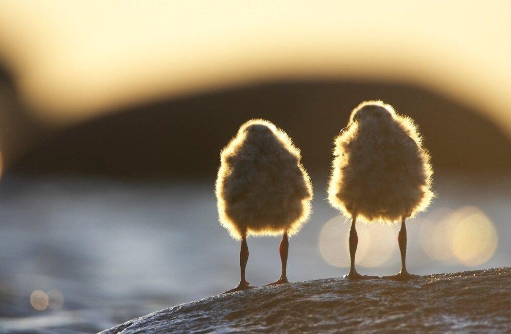 Jaak Põder_linnupojad päikeseloojangut vaatamas