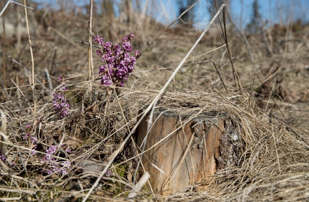 Kevade esimene õis metsas on näsiniin.