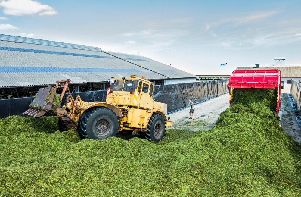 Et saada piimakarjale kvaliteetne silo, tuleb haljasmass korralikult kinni tallata.