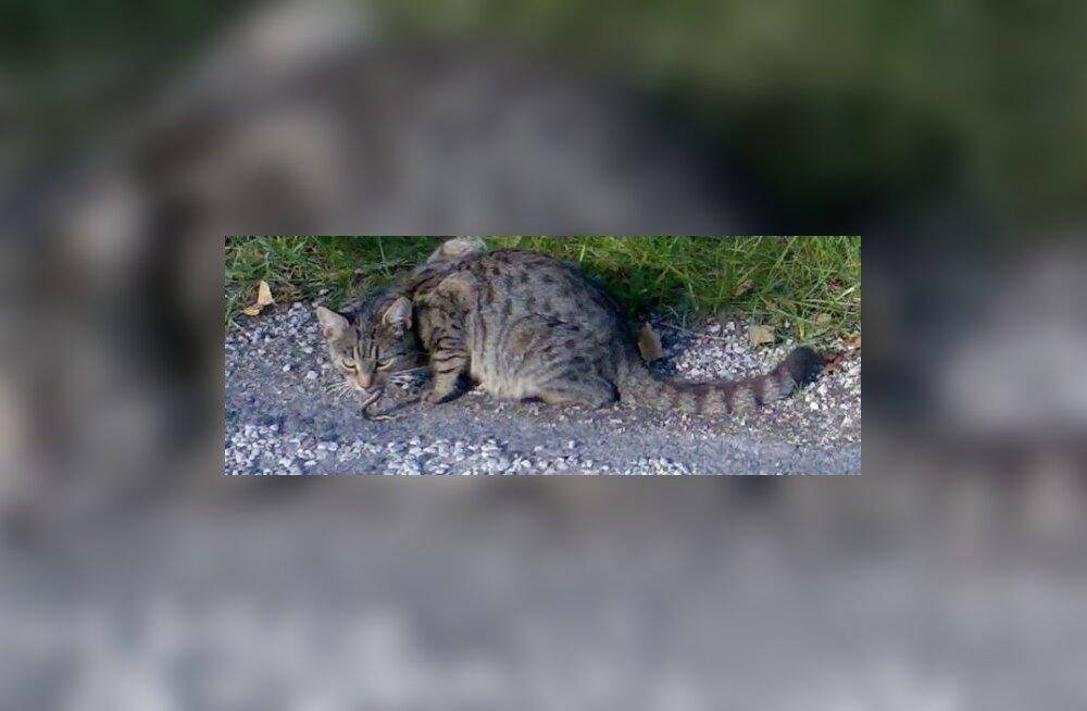 TABAMUS: Vormsi kass lõi rästikule hambad turja