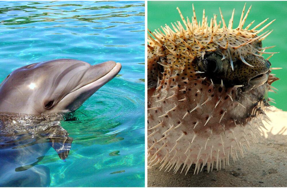 Kas noored delfiinid näksavad kerakalasid narkojoobe eesmärgil?