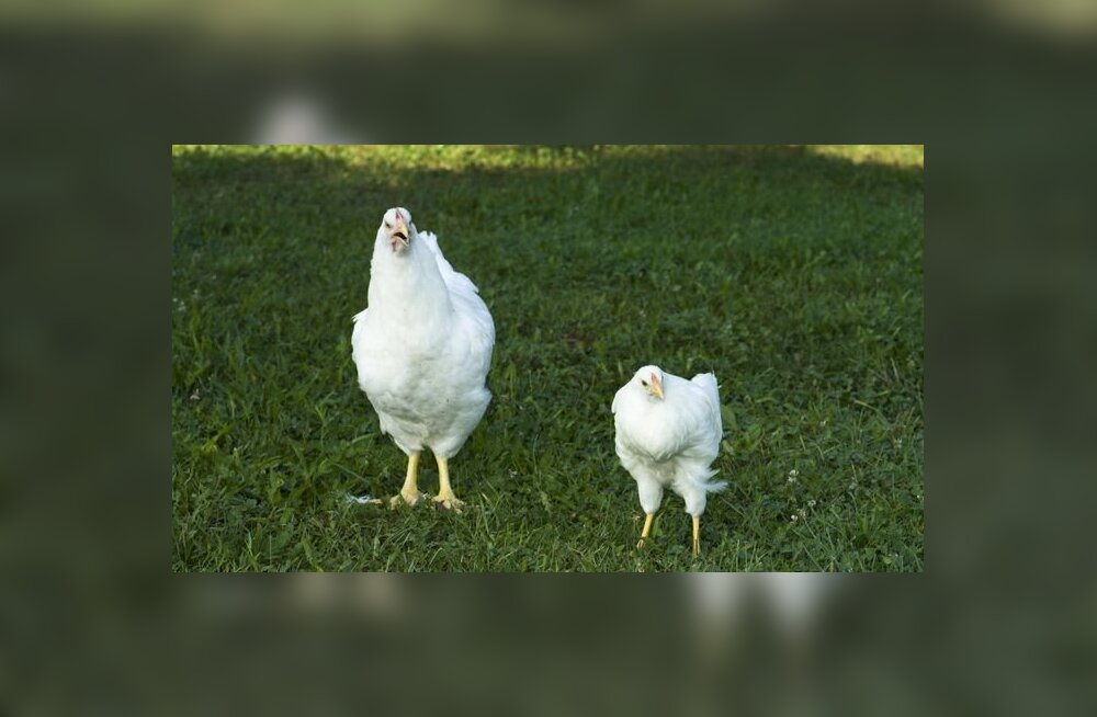 Курицы на футбольном поле