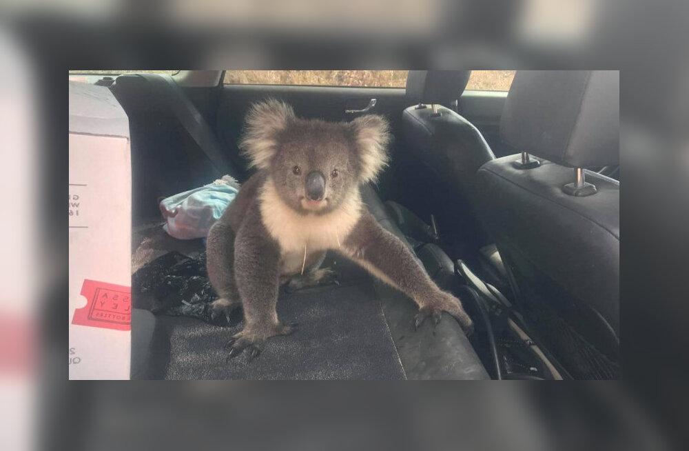 VIDEO | Kangekaelne koaala keeldub jahedast autost lahkumast