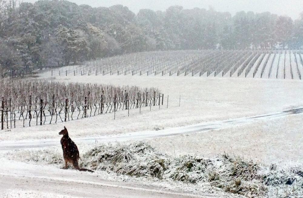 ВИДЕО | Кенгуру в снегу: Австралию впервые за много лет накрыли метели