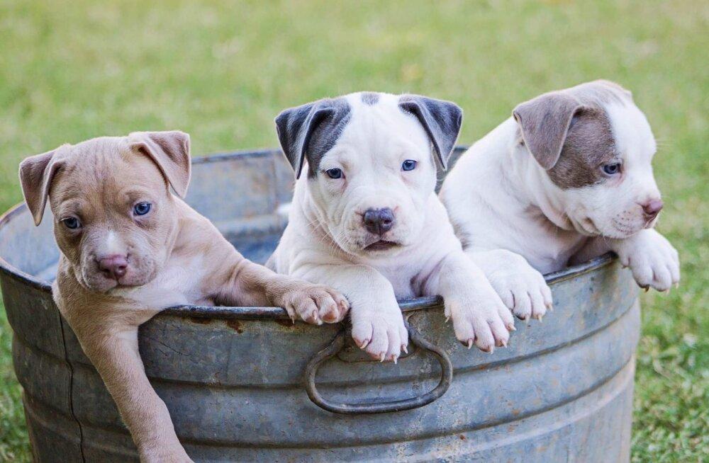 Emaarmastus: kas täiskasvanud koer tunneb hilisemas elus oma vanemad ära?