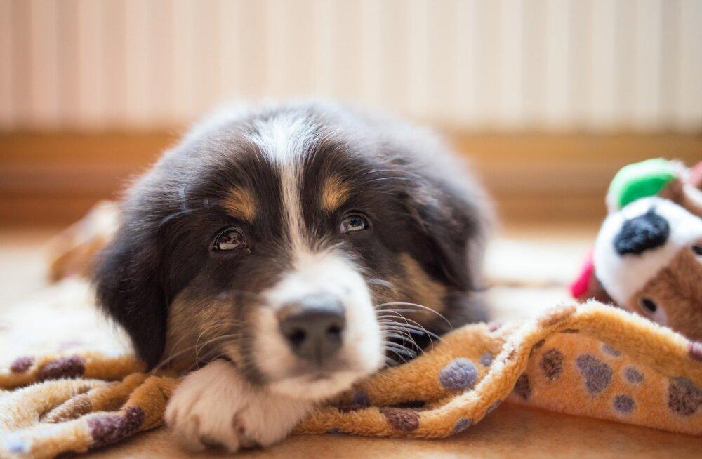 Koerakoolitaja Kati Ernits: kui omanik soovib kuulekat koera, siis tuleb meeles pidada, et ka rõõmuga ei maksa liialdada