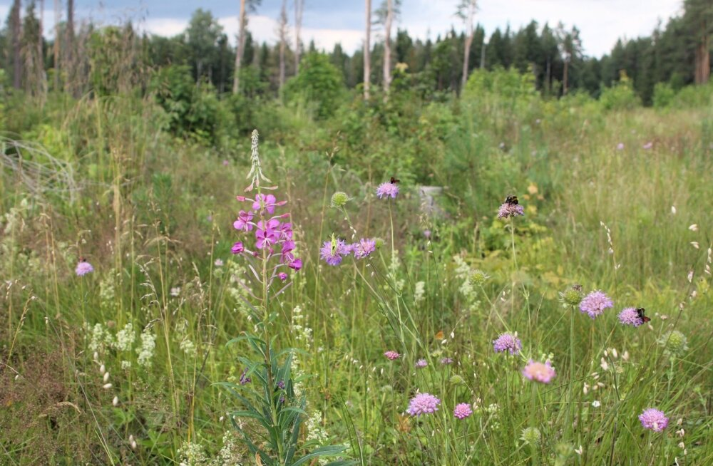 Lankidel elutseb arvukalt liblikaid, ki malasi, sirelasi ja teisi tolmeldajaid, sest raiesmiku taimestik sarnaneb poollooduslike niitude taimestikuga.