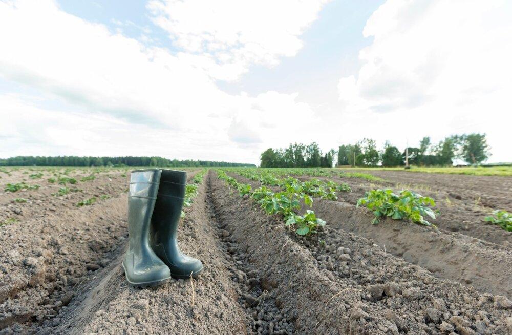 Põua käes kannatav kartulipõld