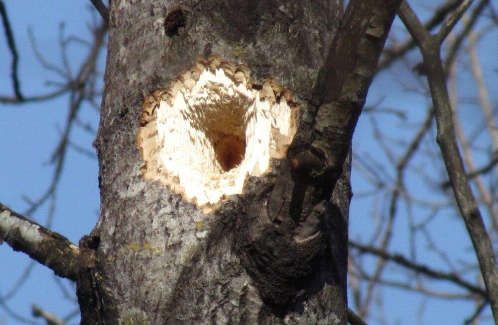 Musträhni kevadtööd