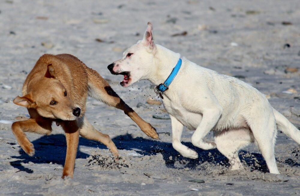 KUI MINU KOER | mida teha, kui minu koer saab teise koera käest hammustada?
