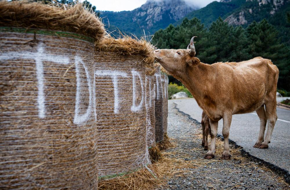 Sardiinia rallit juhtiv Dani Sordo kohtus kiiruskatse ajal lehmaga