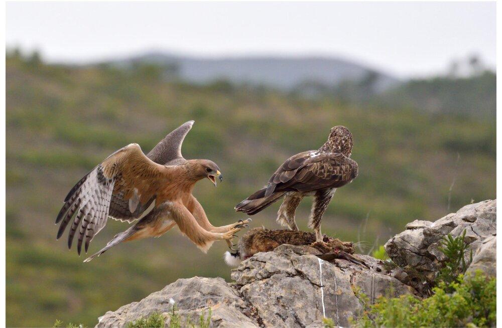 Sitsiilias hakkasid vabatahtlikud kotkapesi valvama, kuna salakaubitsemine võib linnuliigi välja suretada