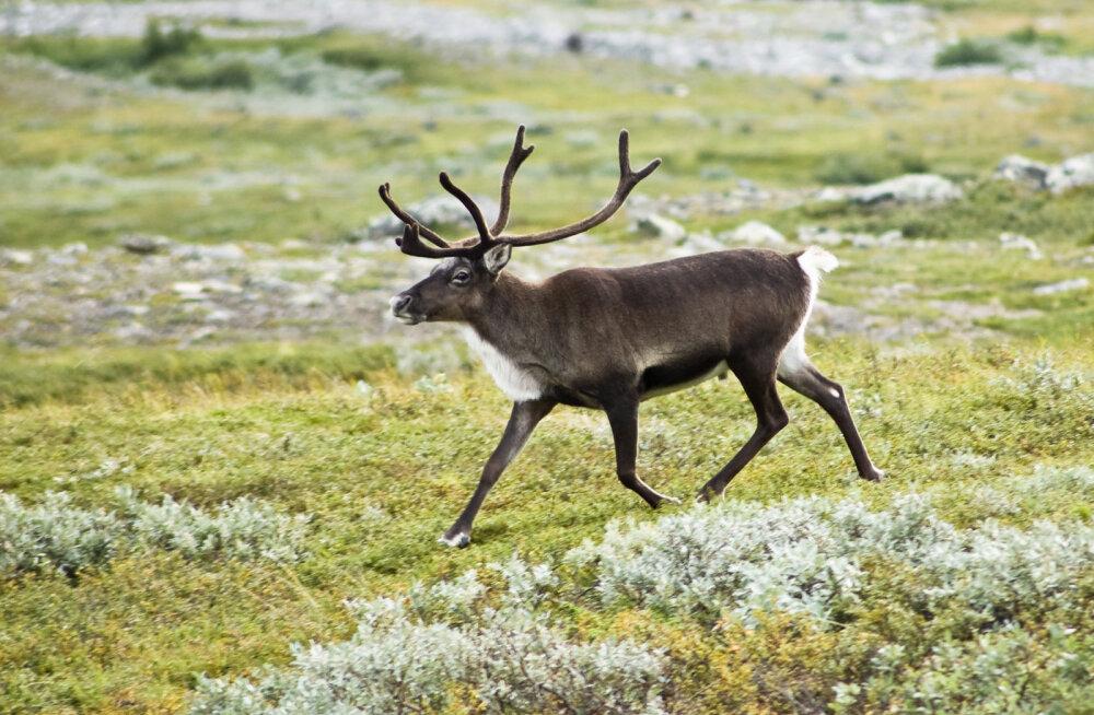 Põhjapõdrad käivad Norra hauakääbastel maiustamas