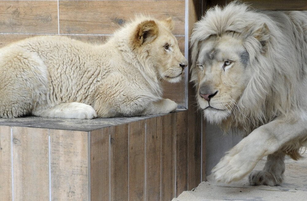 Enesetapumõtetega mees tahtis end loomaaias lõvidele sööta, ent hukkusid hoopis loomad