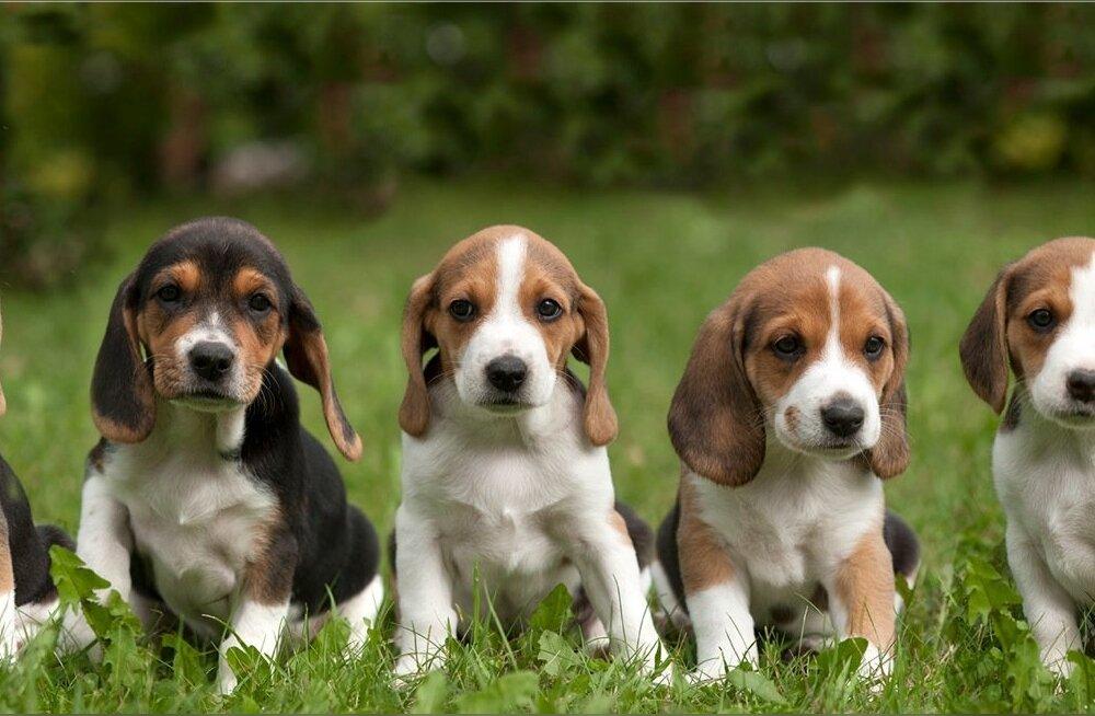 Koera valimist tuleks alustada perekondlikust arutelust, milliseid ootusi tulevasele neljajalgsele pereliikmele esitatakse. Ei tohi unustada, et väikesest ja nunnust kasvab ajapikku suur ning iseloomuga koer.