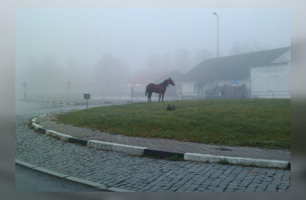 Ääsmäel vabalt jooksnud hobused püüti kinni