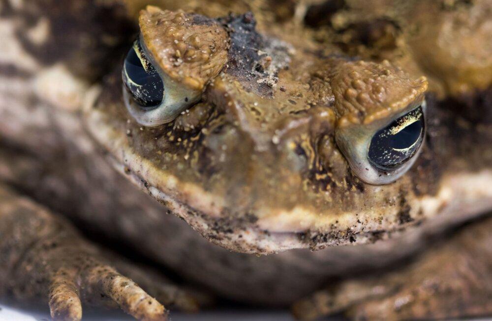 Austraalia teadusauhind läks mehele, kes pillub kopteri pardalt mürkkonnalihast tehtud vorste
