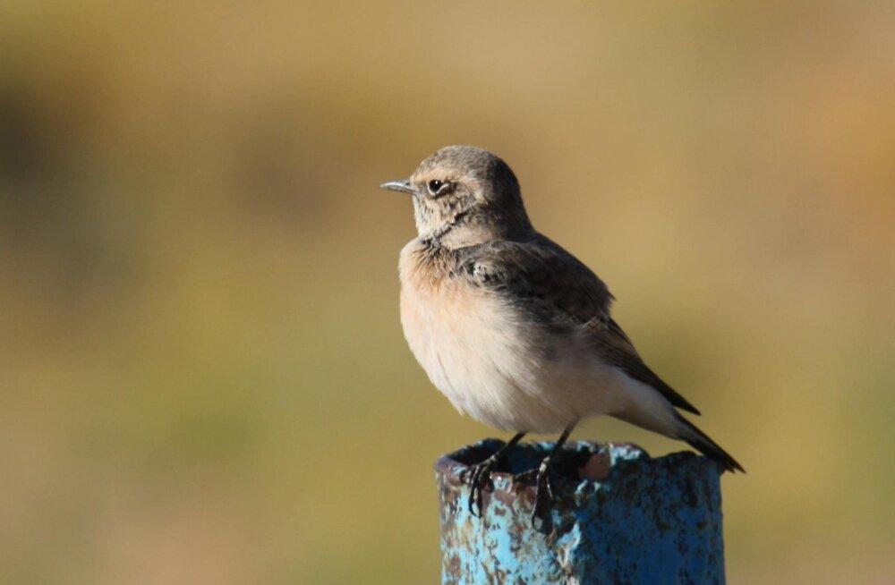 Saaremaale eksis haruldane lind Aasiast