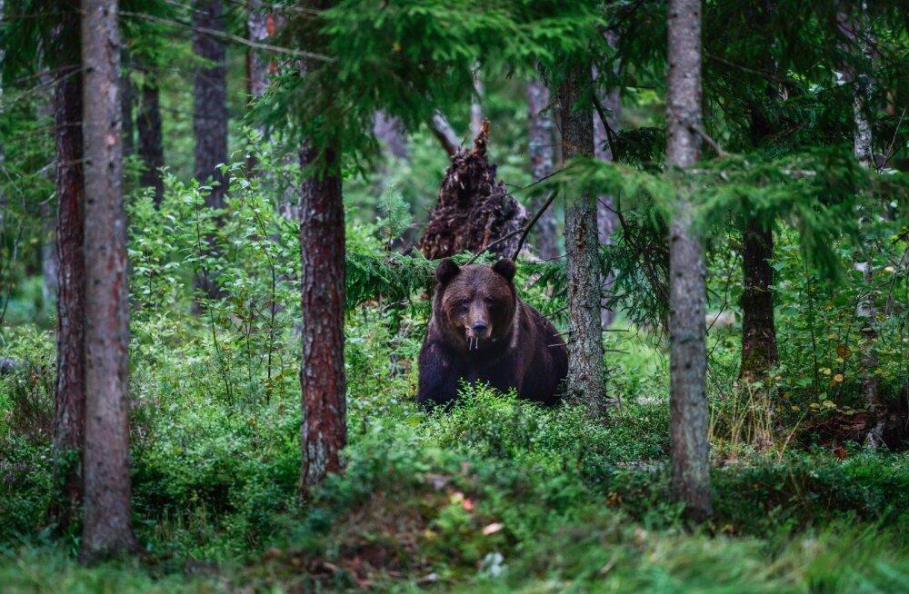 Meie metsade kuningas karu tunneb end iidsetes laantes igati hästi. Foto on tehtud Alutagusel.