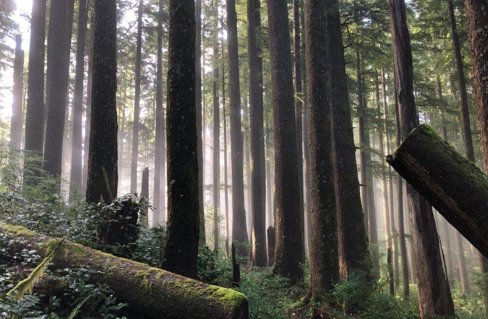 ARVAMUS | Kui vana on vana mets ja kas see seob süsinikku või heidab seda?