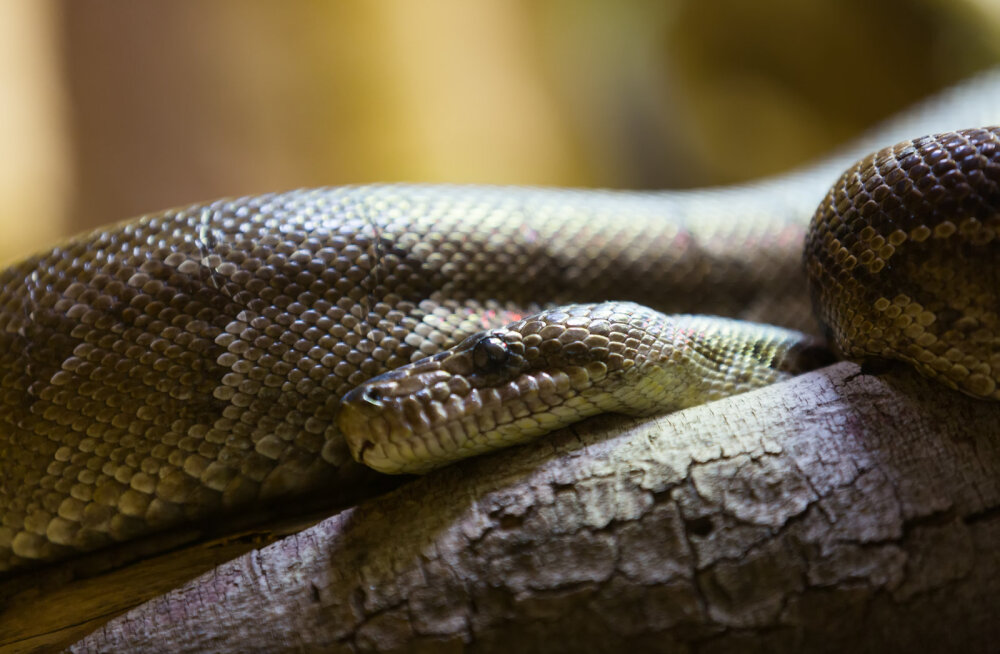 Esmakordne ja hirmutav avastus: teadlane avastab maod, kes karjas jahti peavad
