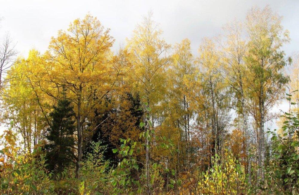 Leili metsalood | Kuldkollane aeg