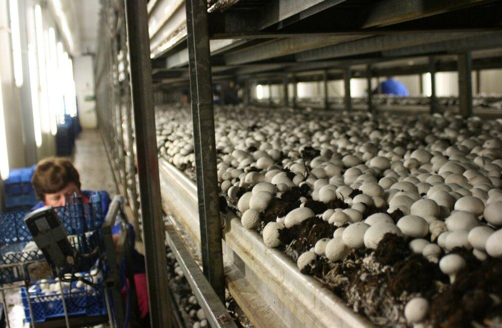 Need suured seened, mis pildil näha, on saanud alguse väikestest viljateradest. Seeneeosed istutatakse sinna seepärast, et esialgu ei suuda nad mullast toitaineid ammutada.