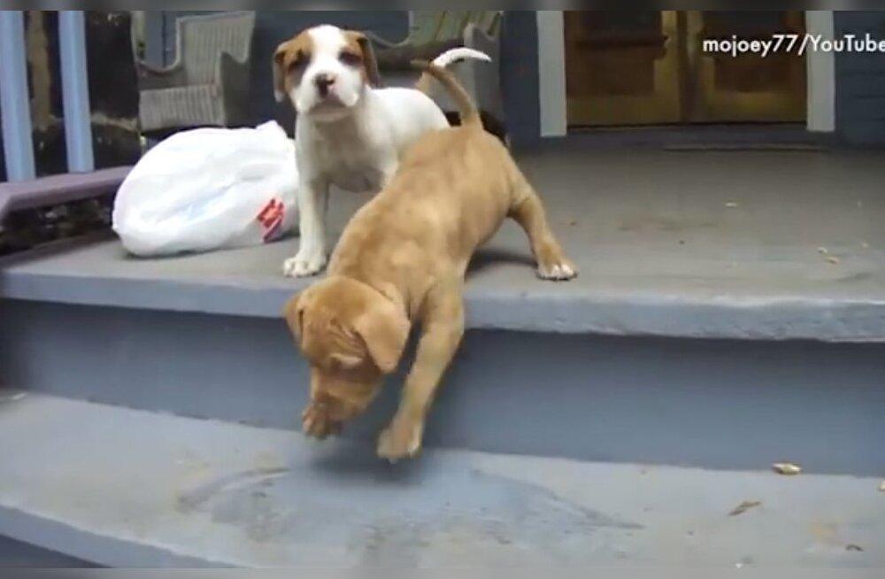 Nalja lausa pisarateni | humoorikad videoklipid koertest, kes trepiastmetest kohe kuidagi sotti ei saa