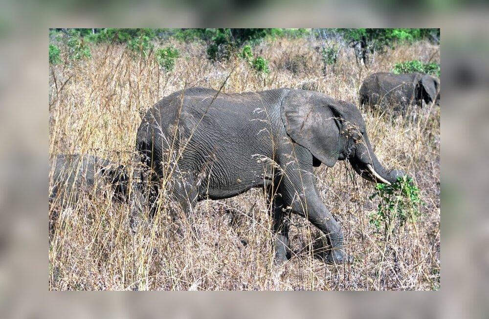 Austraalias võidakse elevandid lasta vabasse loodusesse