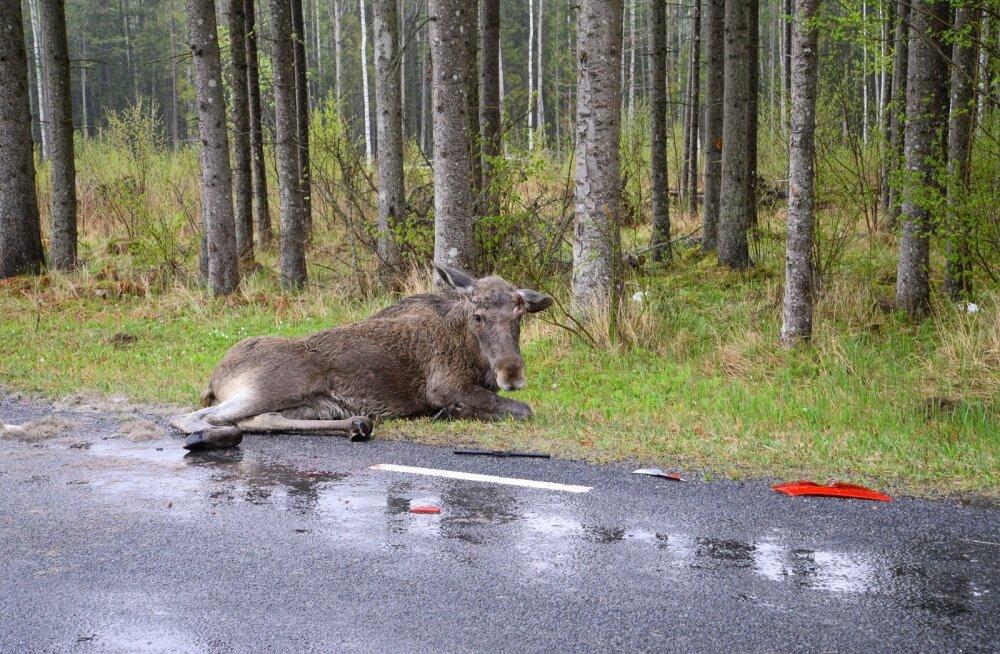 Põder jooksis autole ette
