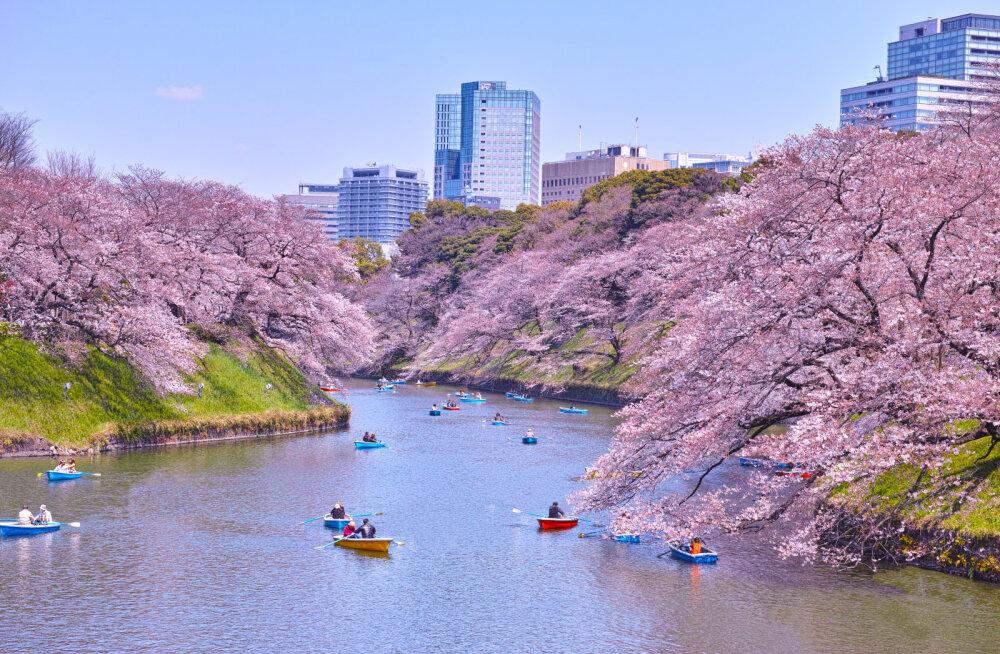 Lenda kirsipuude õitsemise ajaks Jaapanisse! Edasi-tagasi lennud Tallinnast Tokyosse alates 490 eurost
