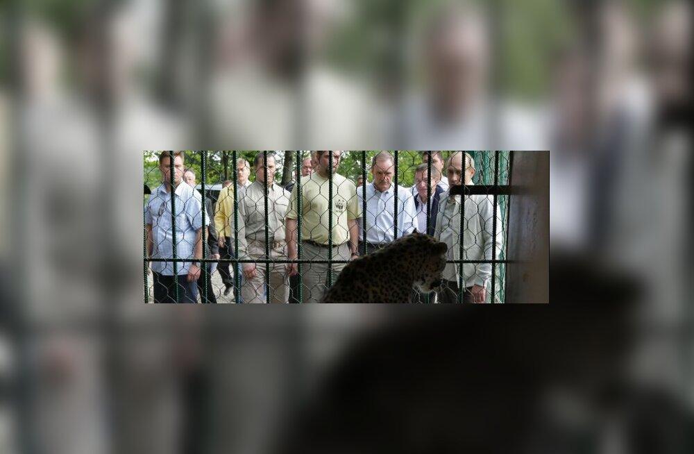 FOTOD: Putin tõi leopardid Kaukaasiasse tagasi