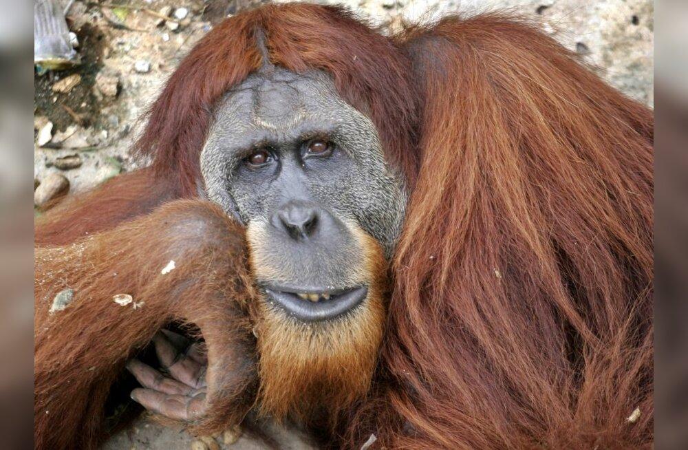 Orangutanide keel muugiti lahti