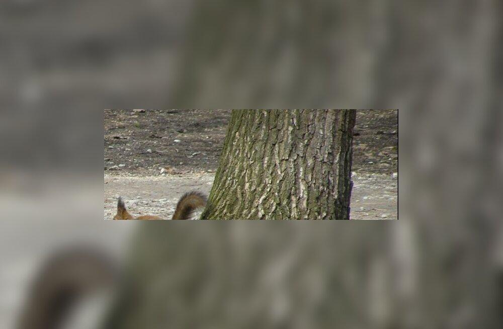 Tallinna oravad sättisid end valimisteks ritta