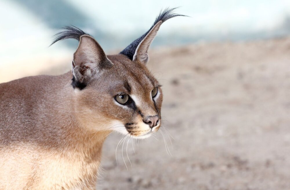 ÜRITUS | Loomaaed kutsub osa saama karakali ja euroopa naaritsa kommenteeritud toitmistest